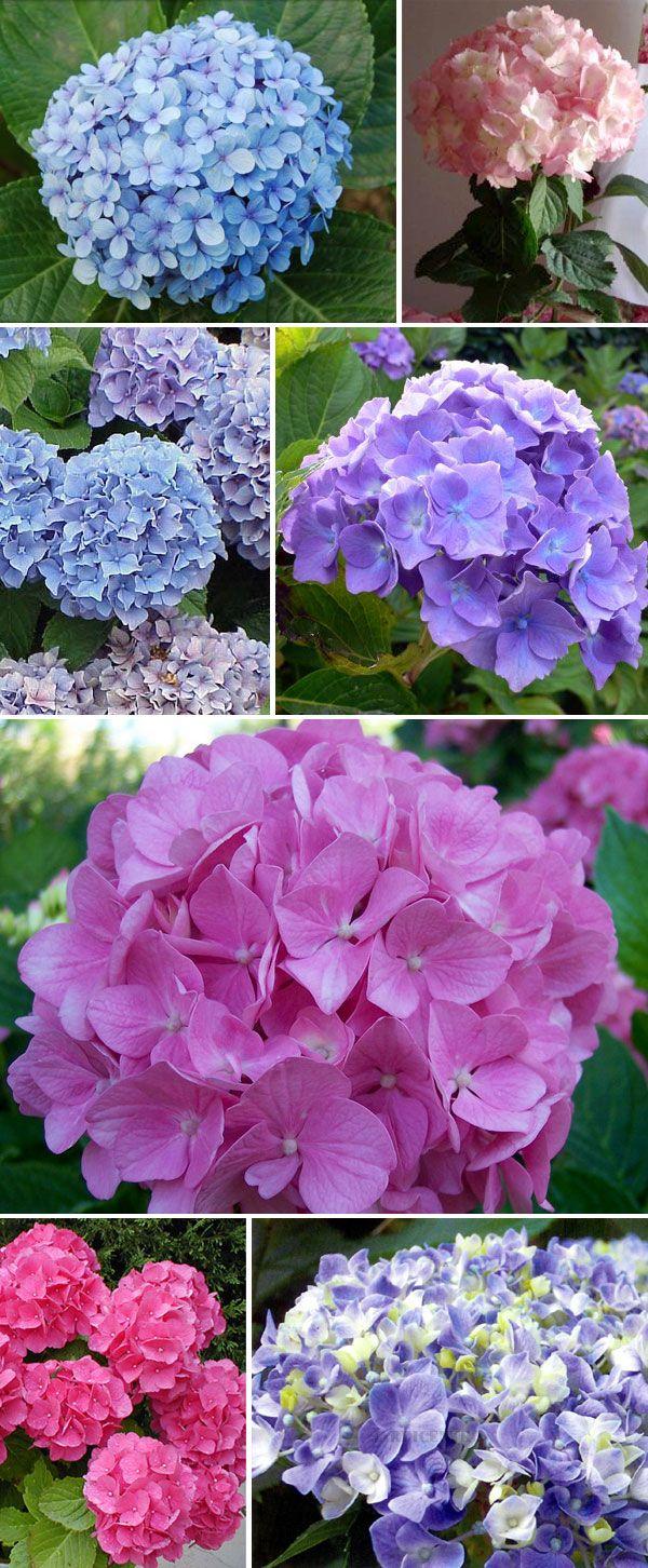 Hortenses pinteres - Cuidar hortensias exterior ...