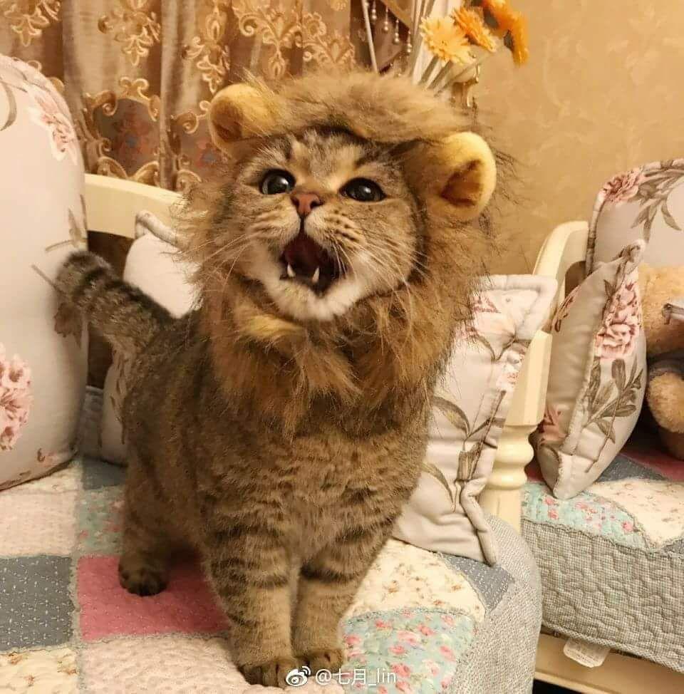 Roar!!!! I is a Wion!!!! 🐱🐾💖 かわいい子猫, 子猫, 面白いペット
