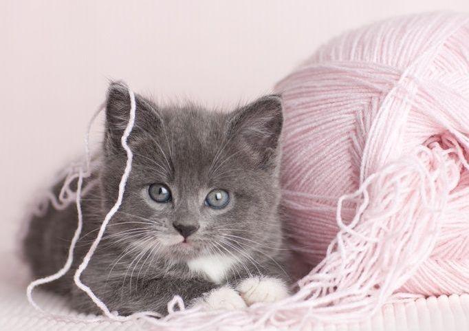 Gorgeous gray and pink x pink grey - Chaton trop chou ...