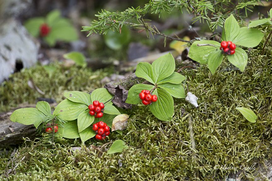 #ChickPicotheDay! (Day 2,844) Looked a little bit like Christmas along the shoreline. Either they're early or Mother Nature forgot to take the decorations down from last year. • • • • • #ChristmasBerries #ChristmasGarland #ItsStillSummer #Shoreline #LakePaddle #Kayak #DontEatTheBerries #ShotOnCanon #CanonGirl #TeamCanon #HeatherCardlePhotographer