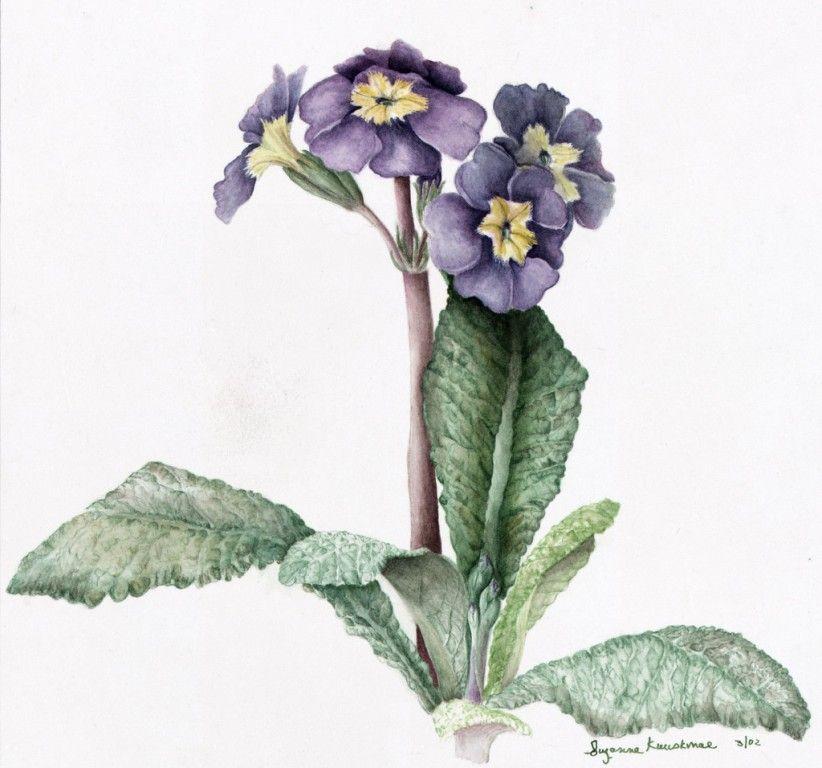 Botanical primrose (With images) | Botanical watercolor ...