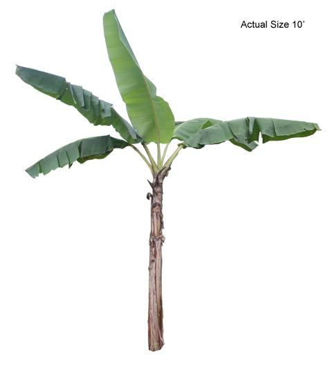 Go Shop Big Banana Tree Palm Plant Banana Plants