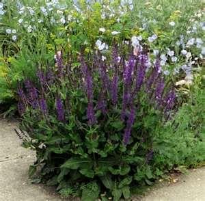 East Friesland Perennial Salvia - Okanagan Xeriscape Association