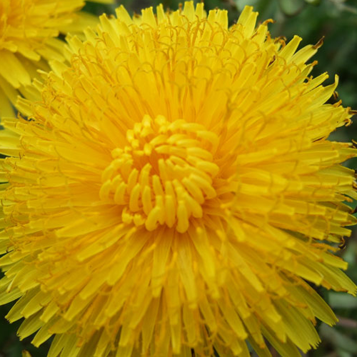The Dandelion Conspiracy #funny #flowers #conspiracy #theory #blog