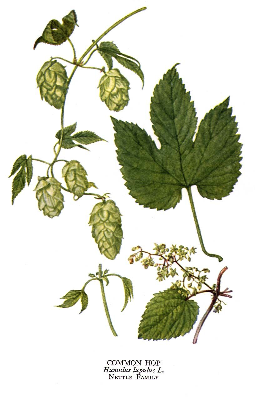 Mike Is Bored Great Hops Humulus Lupulus Illustration Plates From Very Old Botany Books Hops Plant Vine Drawing Plant Drawing