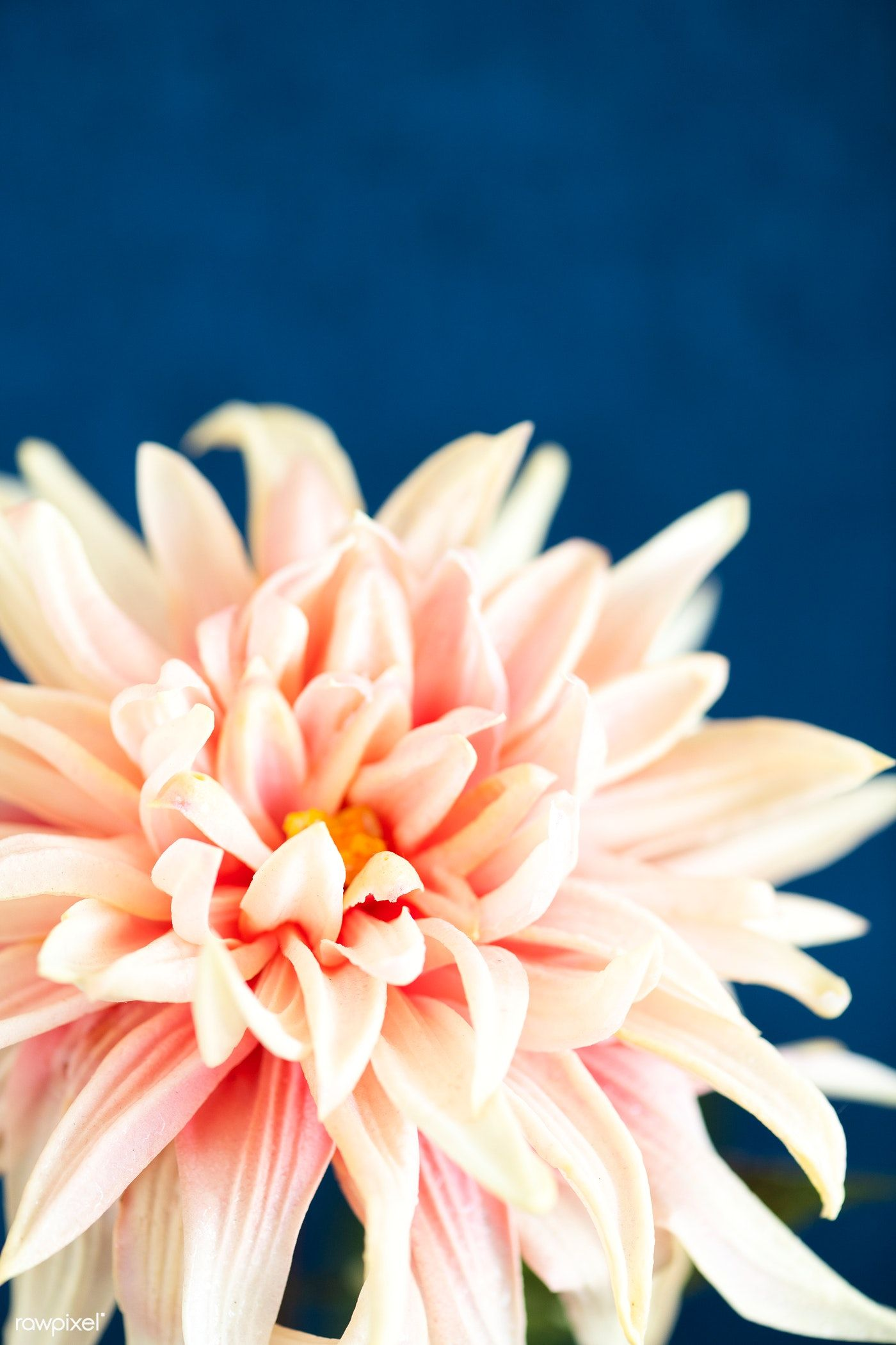Download Premium Photo Of Closeup Of Light Pink Dahlia On Blue Background