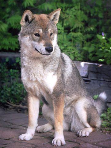 Shikoku Dog Wikipedia The Free Encyclopedia Japanese Dogs Dog Breeds Beautiful Dogs