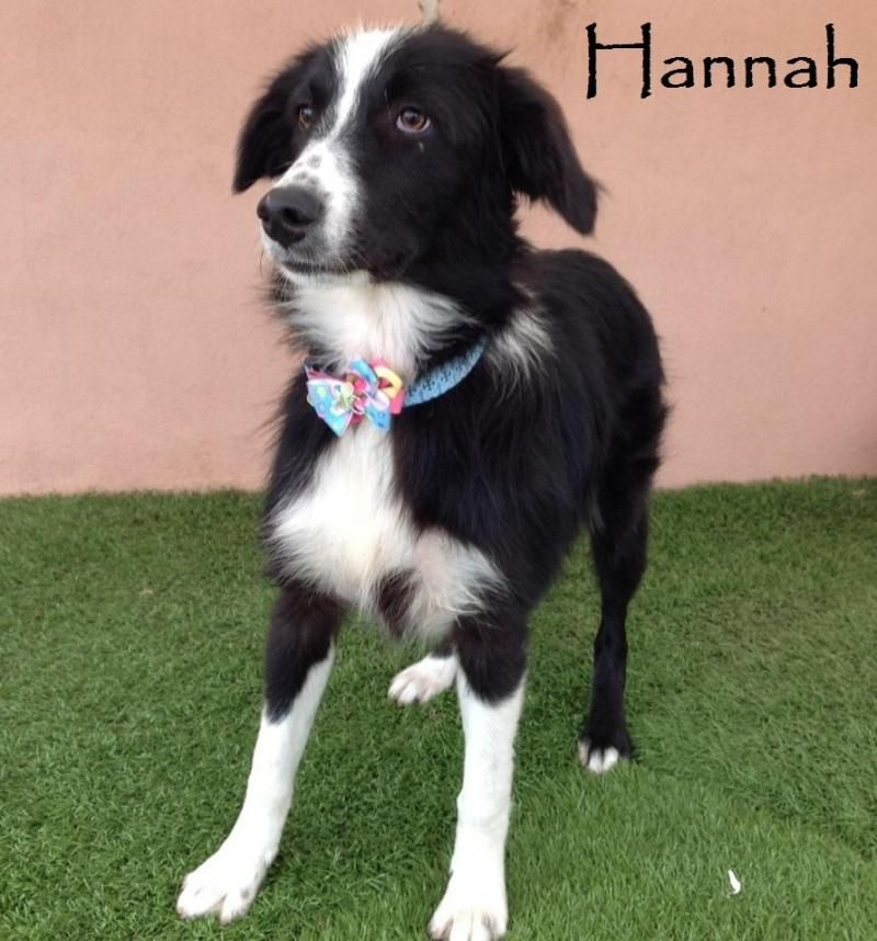 Adopt Hannah on Dogs, Cute dogs, Border collie