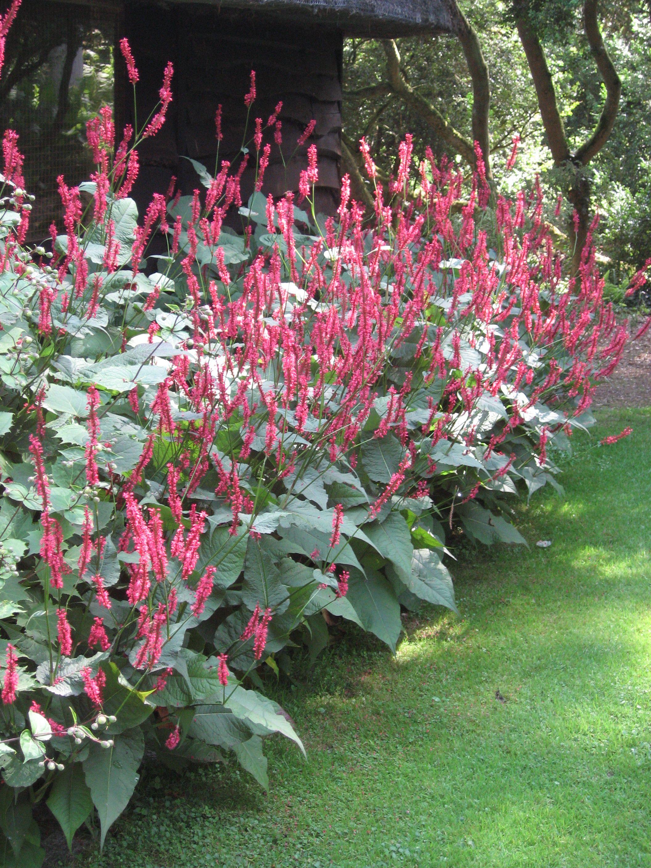 Vaste plant Persicaria amplexicaulis Erg gemakkelijke