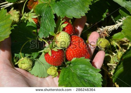 hand picked strawberries from the bush - stock photo
