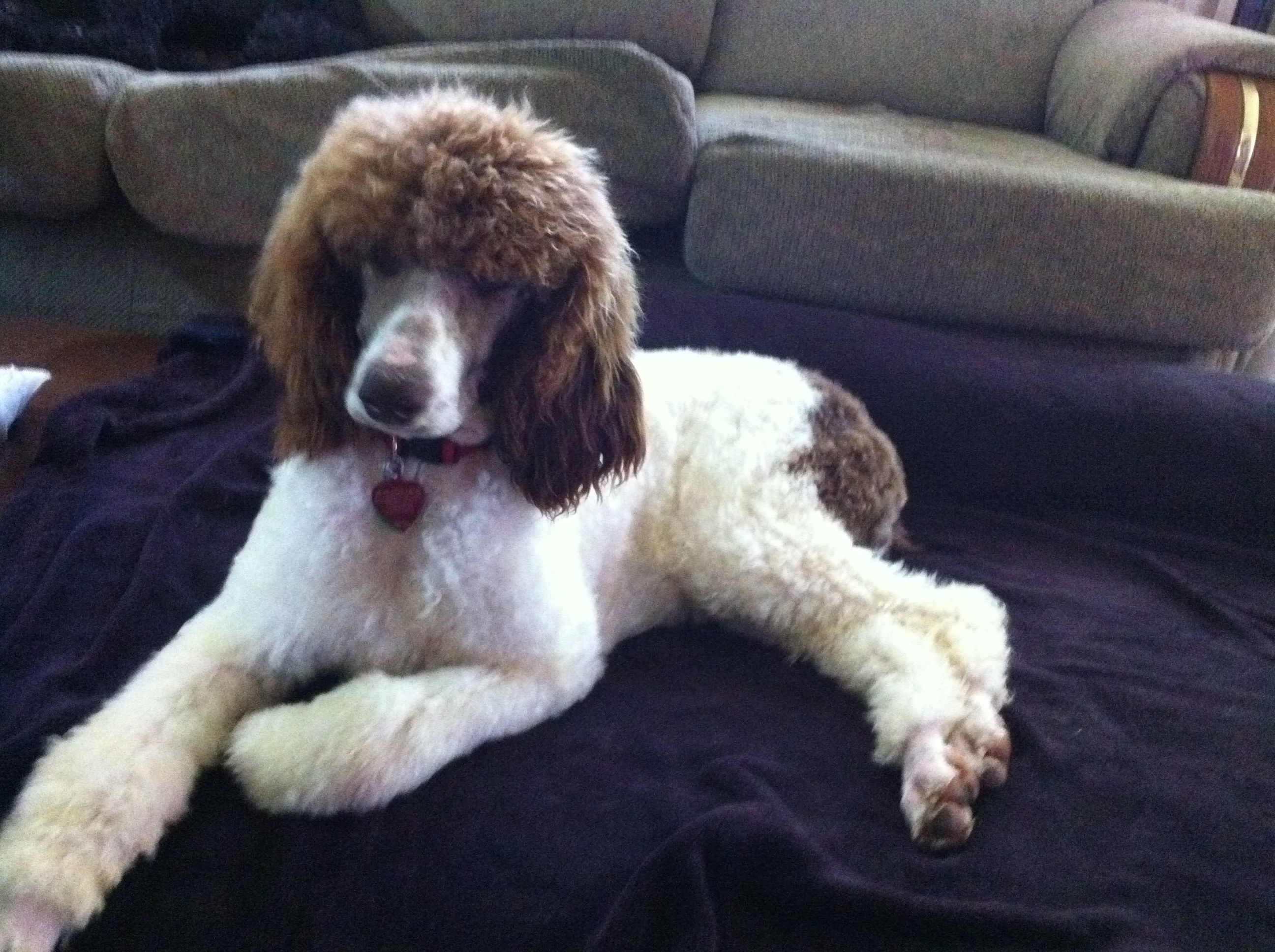 Sophia Our Chocolate And White Parti Standard Poodle
