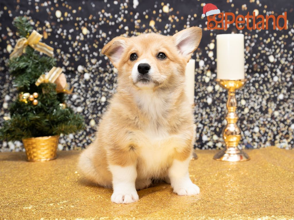 Puppies For Sale In 2020 Corgi Puppies For Sale Welsh Corgi Puppies Puppy Friends