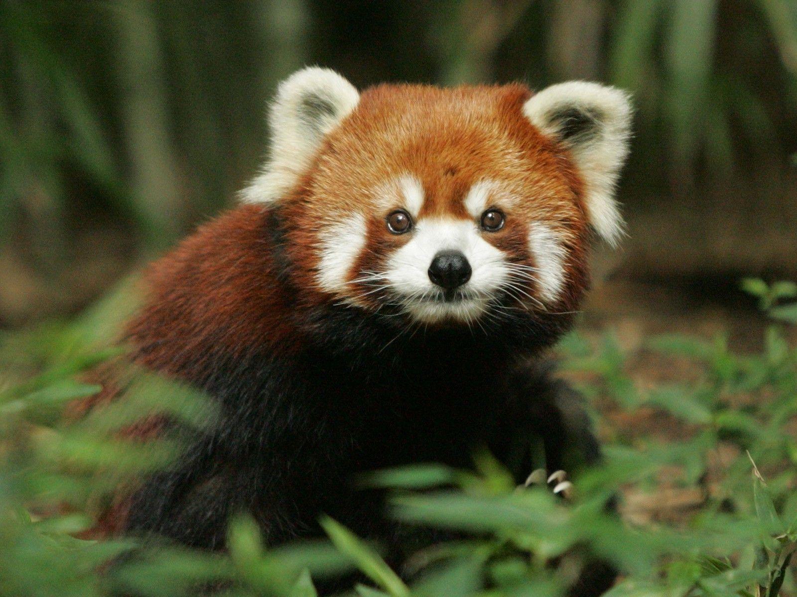 Red Panda Desktop Wallpapers This Wallpaper Red Panda Panda Wallpapers Red Panda Baby