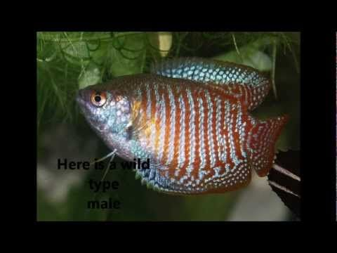 How To Care For A Dwarf Gourami 12 Steps With Pictures Aquarium Fish Freshwater Aquarium Fish Tropical Fish
