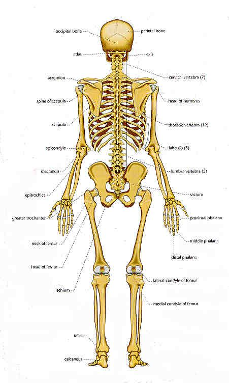 bones | chart of human bones: rear view | studying | pinterest, Skeleton