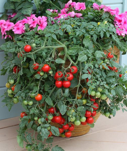 High Quality Patio Tomatoes
