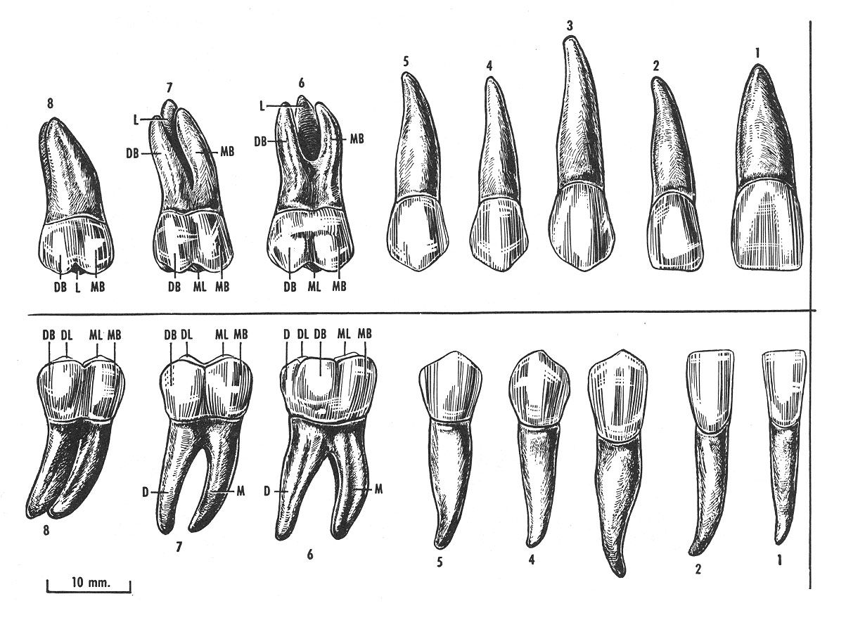 human teeth diagram | Morphologie, anatomie...1 | Pinterest | Zahn