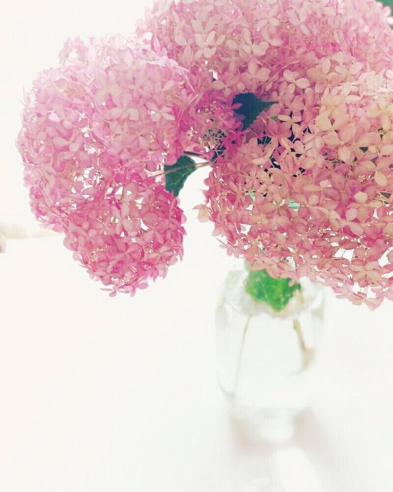ピンクのアナベルの投稿画像 By Akemikeaさん あじさいコンテスト 2017月6月22日 Greensnap グリーンスナップ あじさい