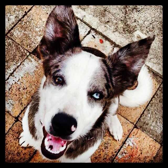 My Australian Koolie X Border Collie Black Blue Merle In Colour