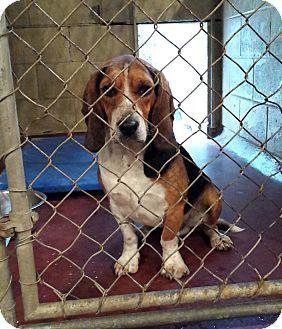 Coshocton Oh Beagle Basset Hound Mix Meet Beagle Basset Mix A