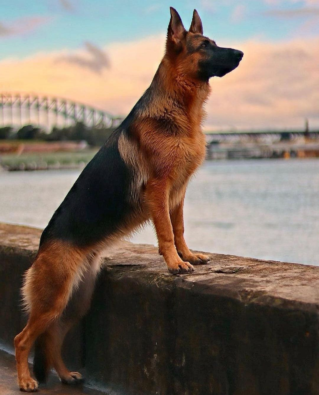 How To Train A Puppy Or An Adult Dog To Be Calm German Shepherd