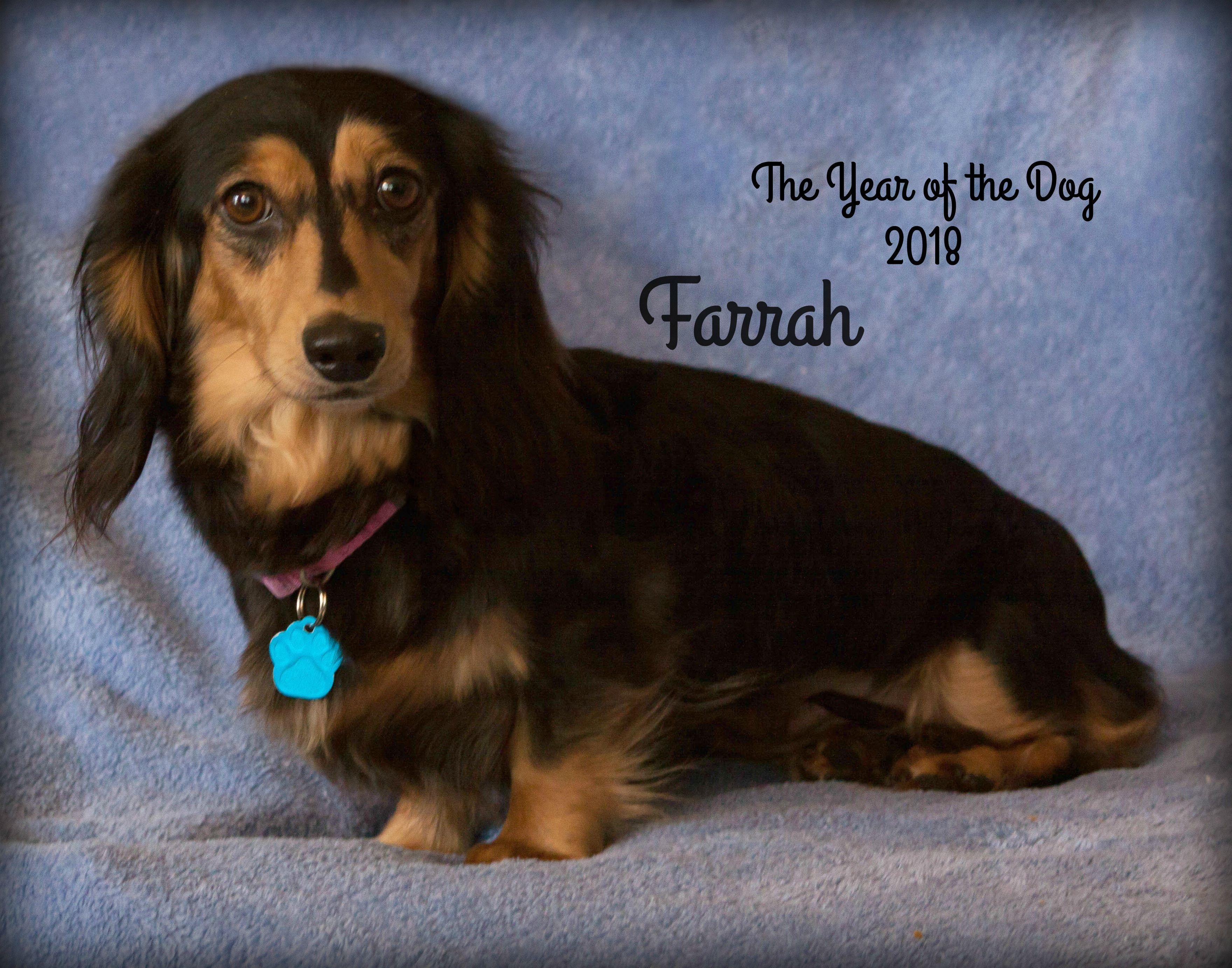 Adopt Farrah Pending Adoption On Terrier Rescue Dogs Dachshund Dog