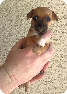 Phoenix Az Chihuahua Rat Terrier Mix Meet Sophia A Puppy For
