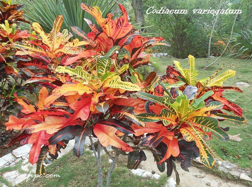 Los crotos croton croto o codiaeum hoja jardiner a y for Tres plantas ornamentales