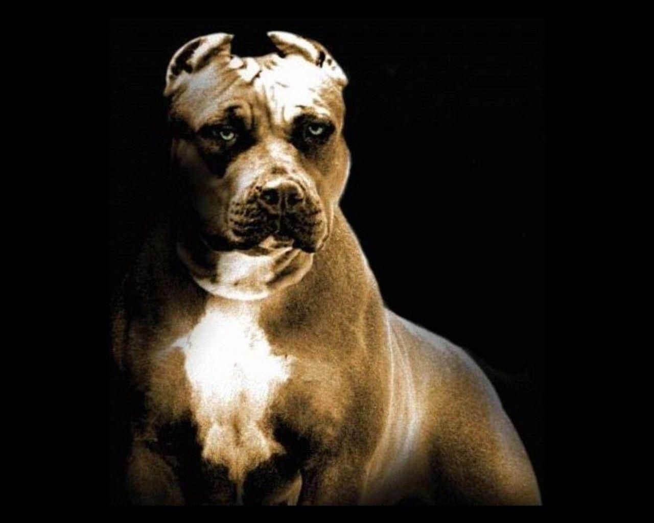 Pitbull Dog New Wallpapers Pitbull Dog Pictures Free Download