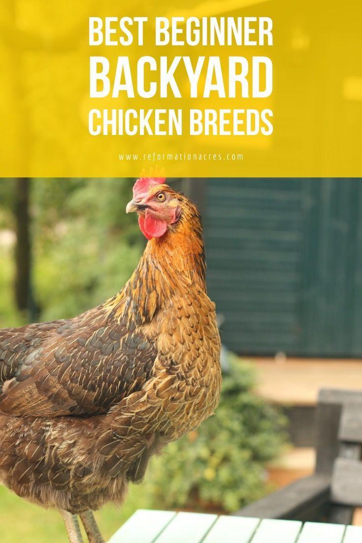 New to Backyard Chickens? Choose the Best Backyard ...