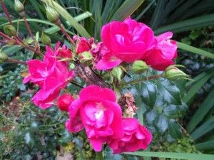 Rose flower carpet pink supreme gardening pinterest gardens rose flower carpet pink supreme mightylinksfo