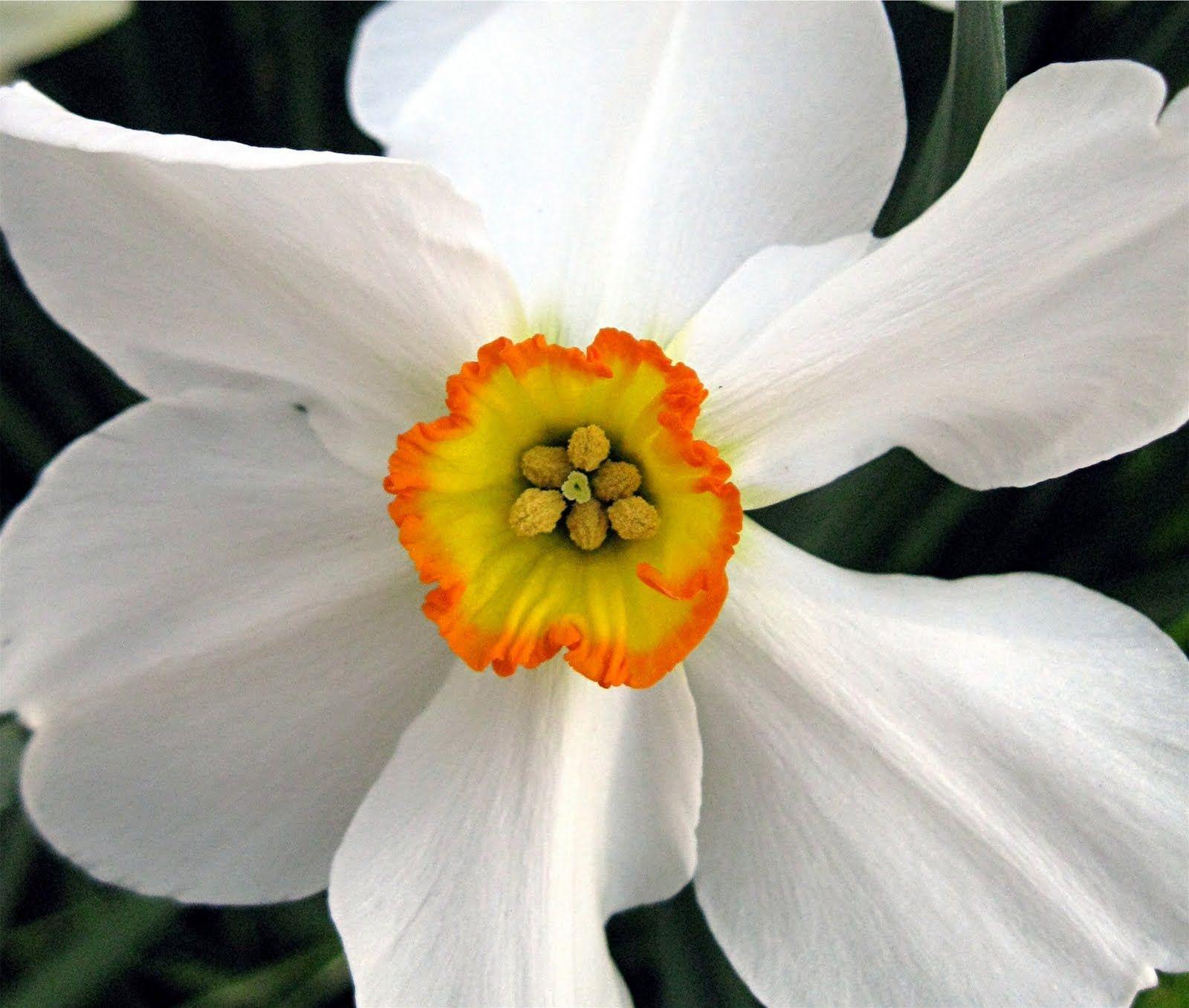 December flower. Narcissus Blommor