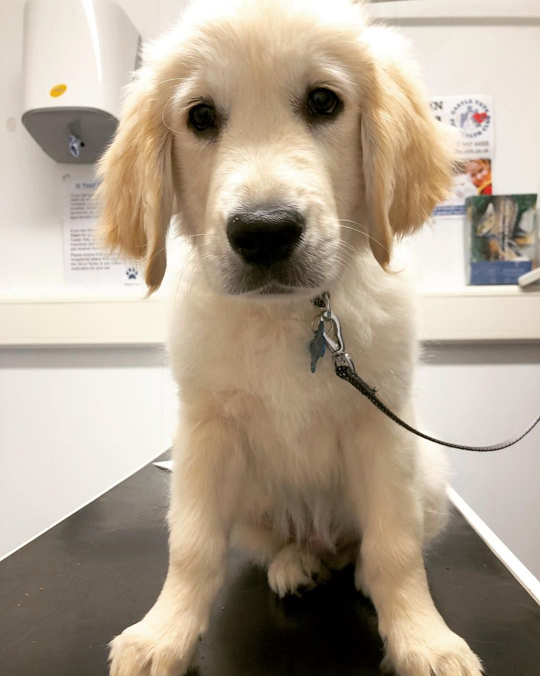 Harry The Golden Retriever Came In For His Vaccs And A Cuddle