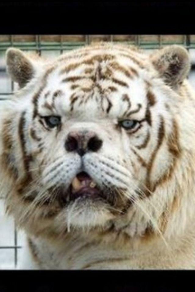 Tiger Mit Downsyndrom