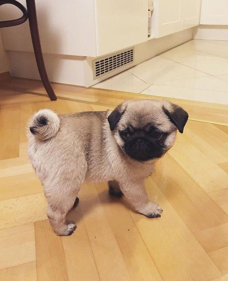 c5f8e8c61f8 Trying to decide if i should stick to my diet or go back for my favorite  potato chips  puglovers  worldofpug  pug  pugs  funnypug