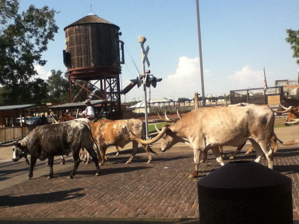 Longhorn Cattle Drive In The Fort Worth Stockyards Daily Longhorn Cattle Fort Worth Stockyards Cattle Drive