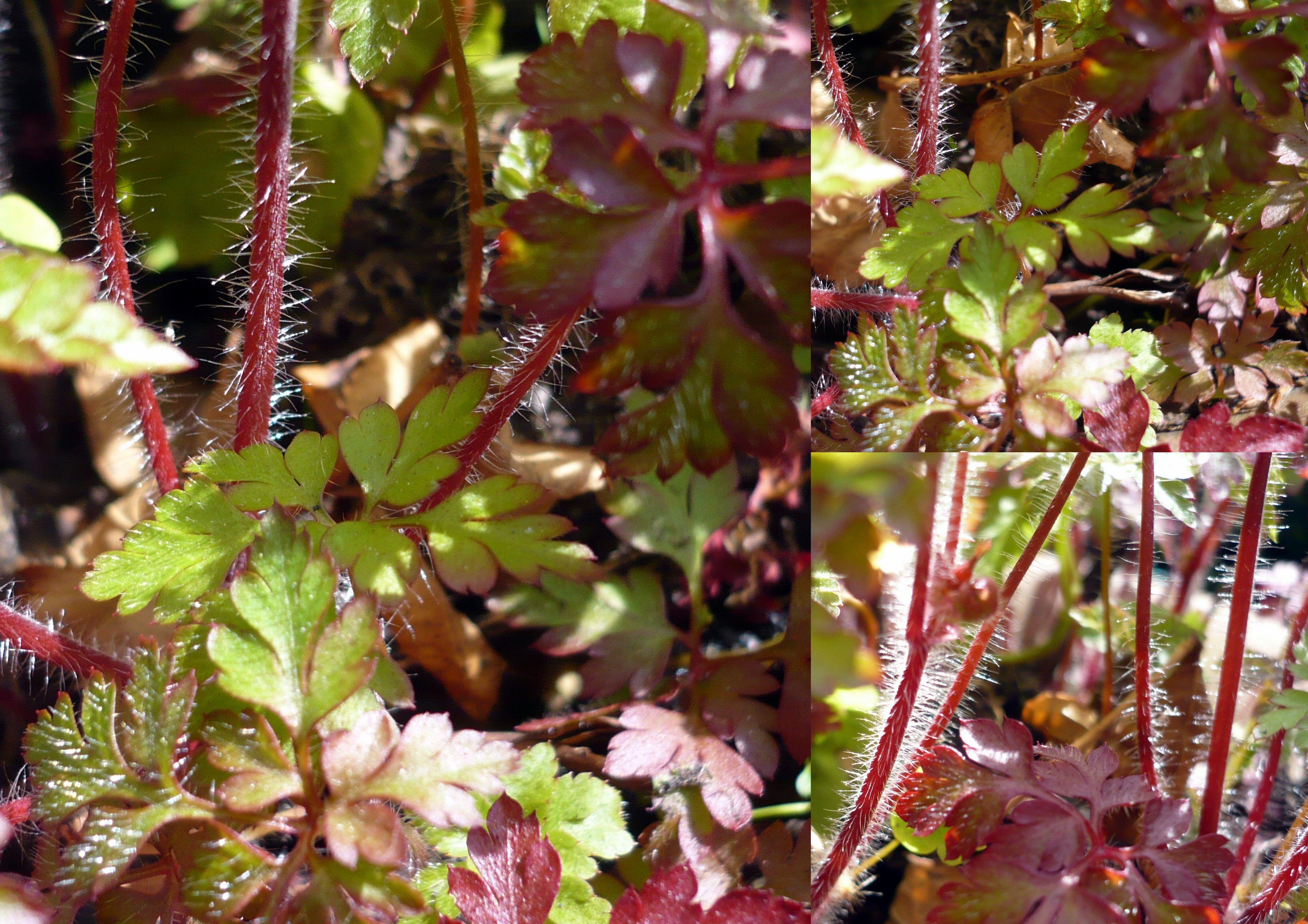 Pflanze mit silbernen Härchen an Blatt und Stiel