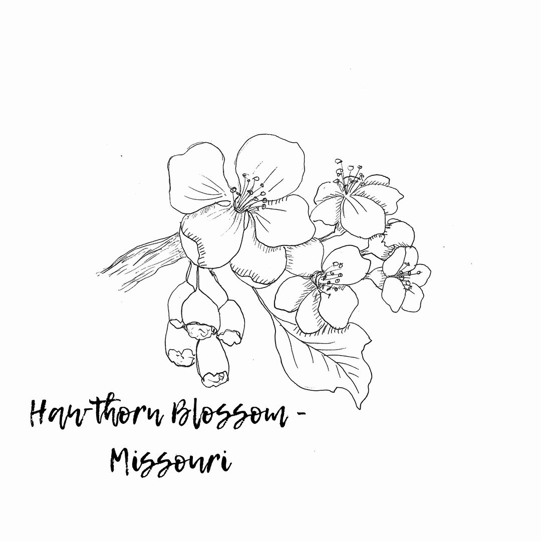 Illustration of Missouri's state flower by Journey Home