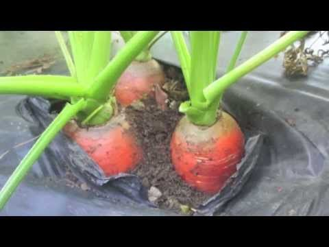 ▶ Four-Day Carrots (part 3) - YouTube