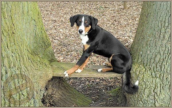 Bo Hatte Sennenhund Hunde Appenzeller Hund