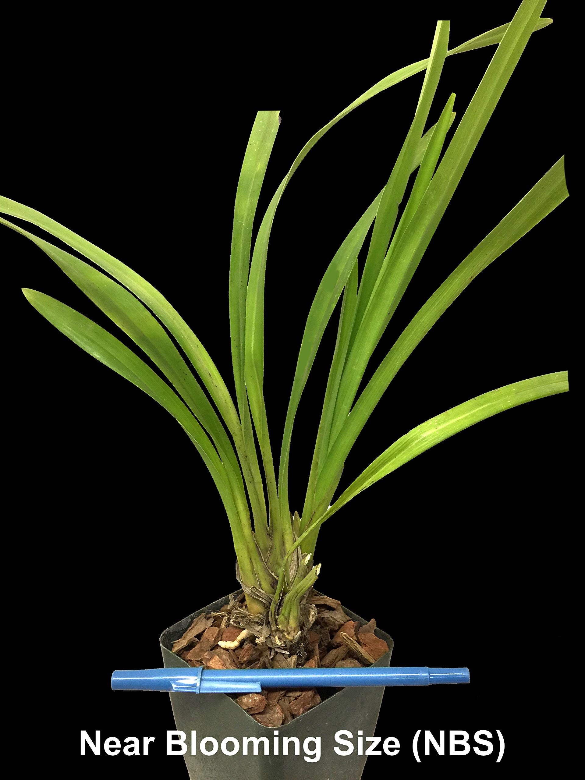 Orchid Insanity Pennys Worth Cymbidium Cute Pink Blooms Pendulous Flower Spike Easy To Grow Not In Bloom When Shipped Read Flower Spike Orchids Cute Pink