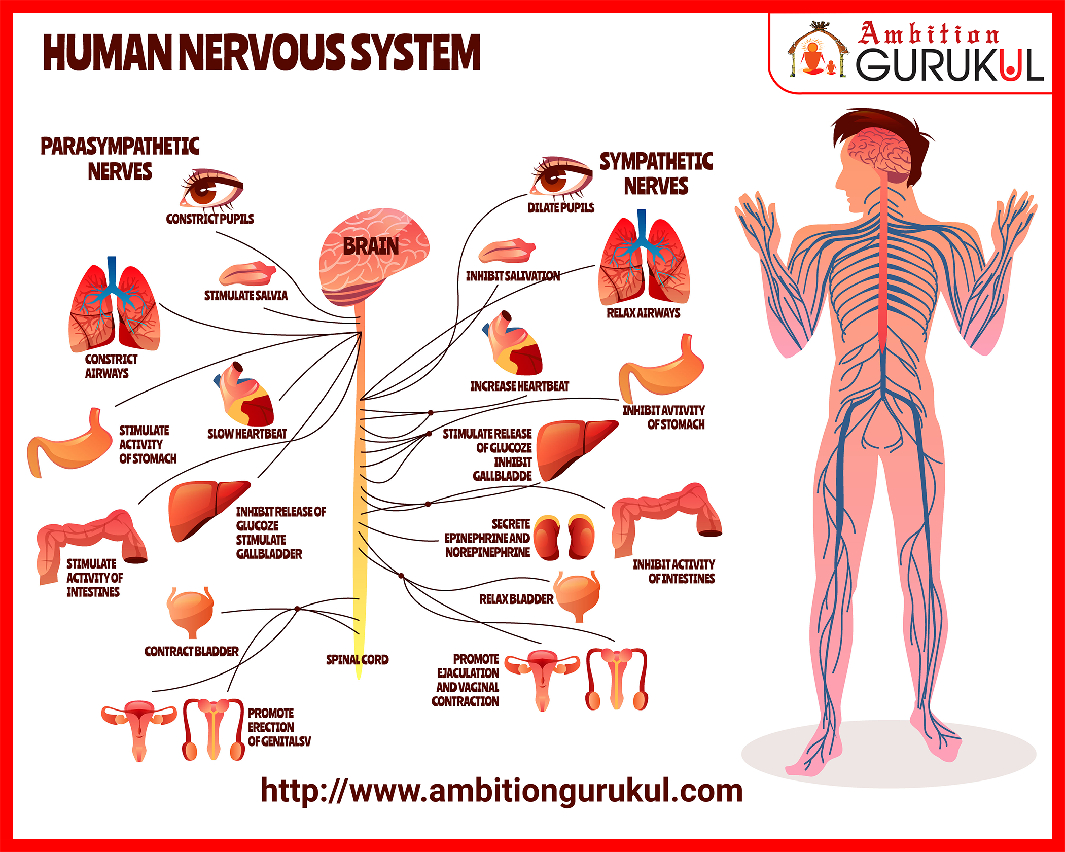Humannervoussystem The Part Of The Human Body That