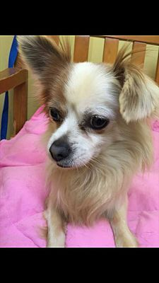 Chihuahua Papillon Mix Dog For Adoption In Cincinnati Ohio Tiny