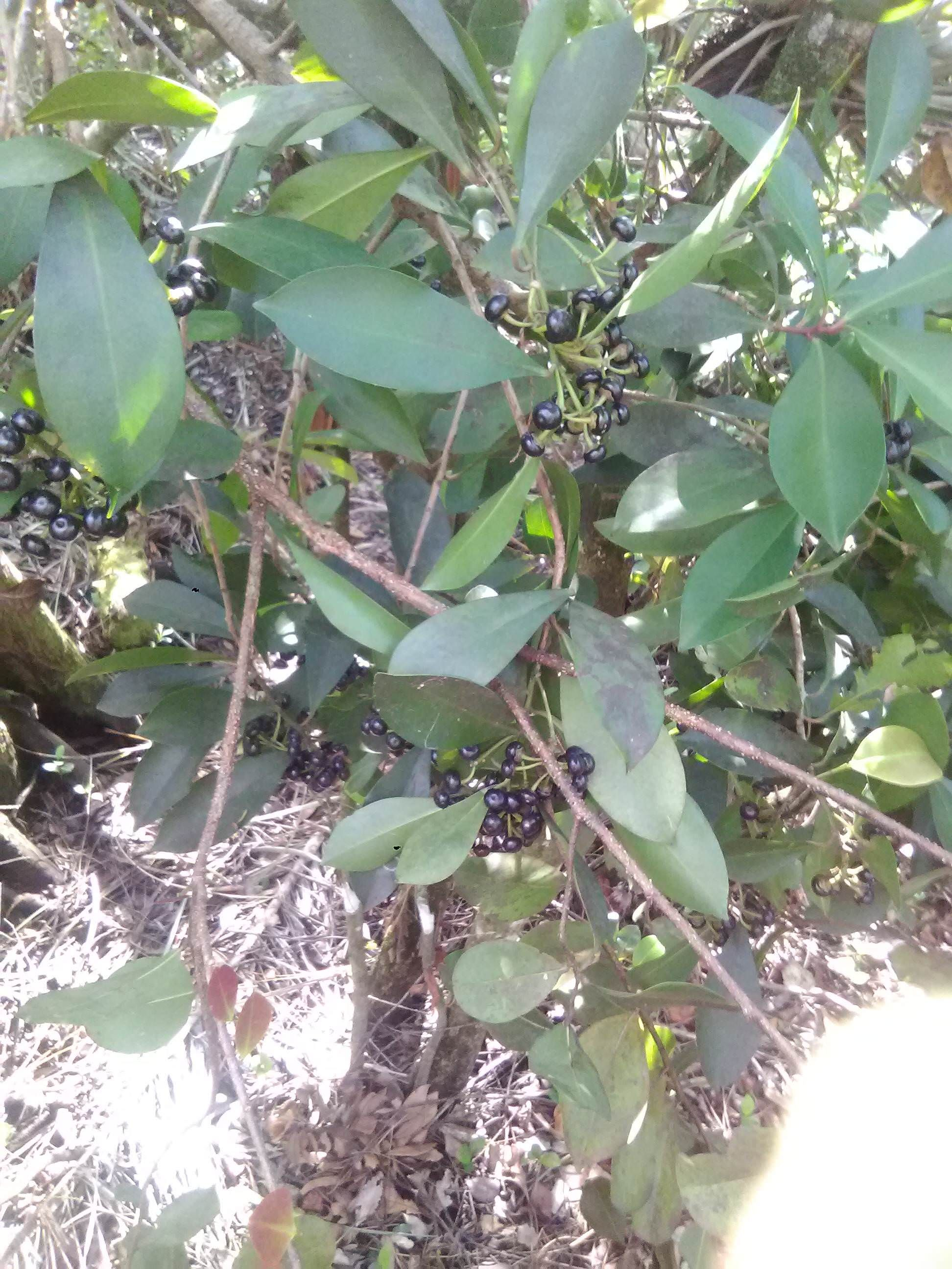 Small Tree With A Bunch Of Dark Purple Berries In South Florida