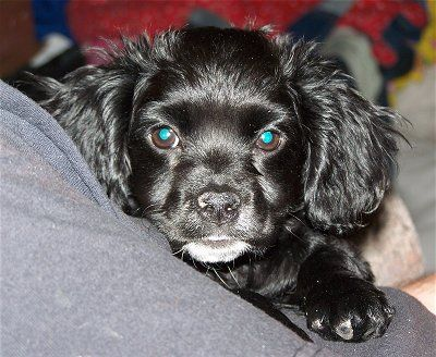 Pin By Sheria Moore On Dogs Mixed Breed Cocker Spaniel Mix Cocker Spaniel Spaniel Puppies