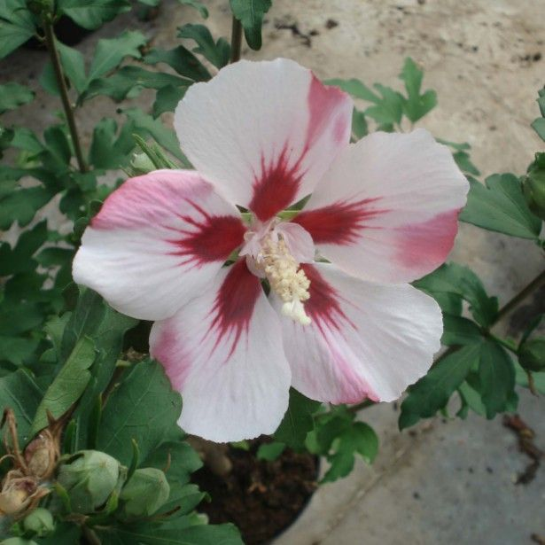 Hibiscus syriacus Hamabo - Althéa ou mauve en arbre | Jardin ...