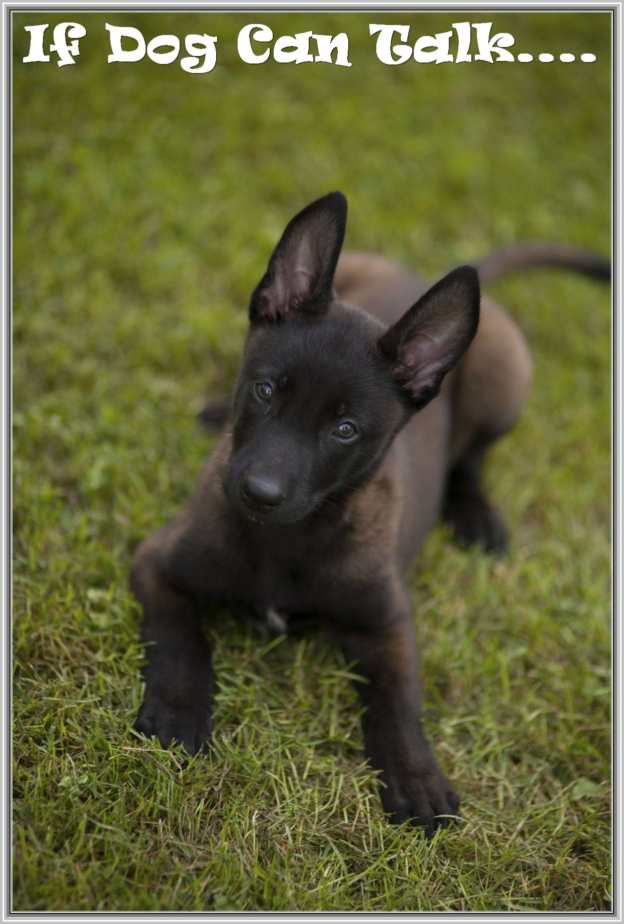 What To Do When You Bring Home A Puppy With Images Puppies Malinois Puppies Malinois Dog
