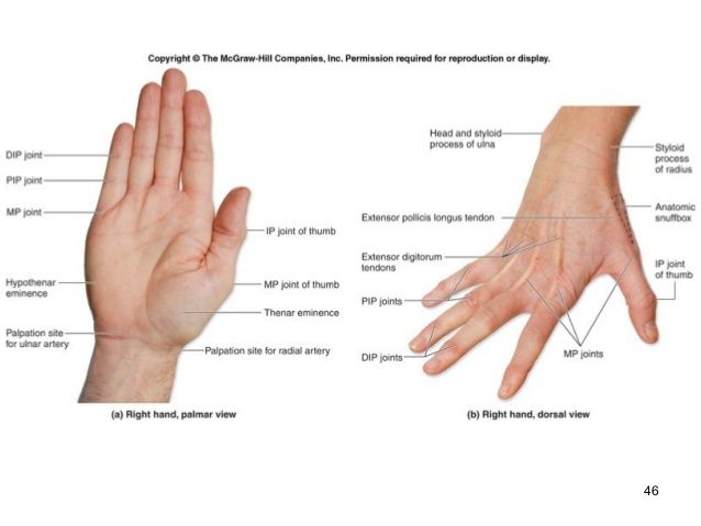 Hand Surface Anatomy Diagram Enthusiast Wiring Diagrams