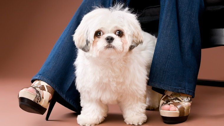 Shih Poo Mixed Dog Breed Pictures Characteristics Facts Shih