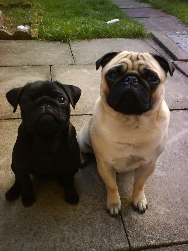 Button Ears Black Pug Vs Rose Ears Fawn Pug Pugs